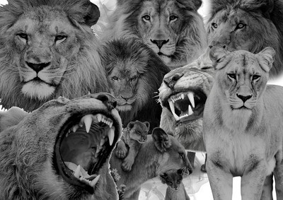 digital lion pack 50+images