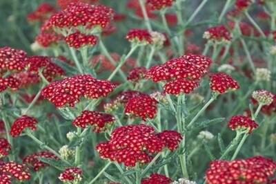 Achillea 'Sassy Summer Sangria' (Yarrow)