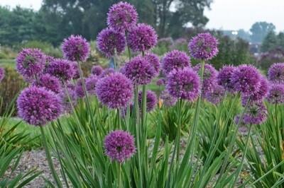 Allium 'Lavender Bubbles' (ornamental onion)
