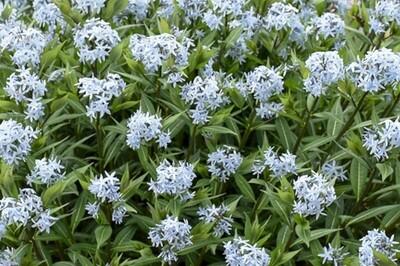 Amsonia 'Starstruck' (Blue Star)