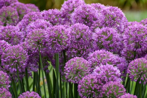 Allium 'Serendipity' (ornamental onion) Proven Winners