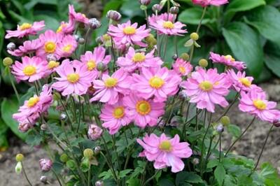 Anemone 'Curtain Call Pink' (Japanese Anemone)