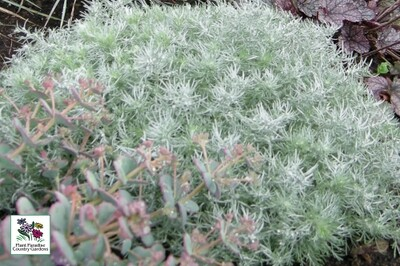 Artemisia schmidtiana 'Silver Mound'