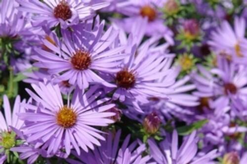 Aster oblongifolius 'Raydon's Favorite' (aromatic native aster)