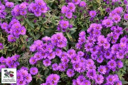 Aster novae-angliae 'Purple Dome' (New England aster)