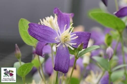 Clematis 'Violet Stardust' (hybrid bush Clematis)