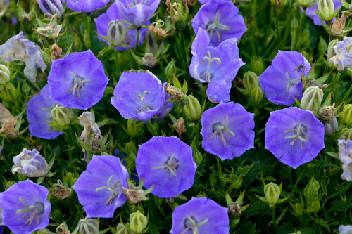 Campanula carpatica 'Rapido Blue' (bellflower)