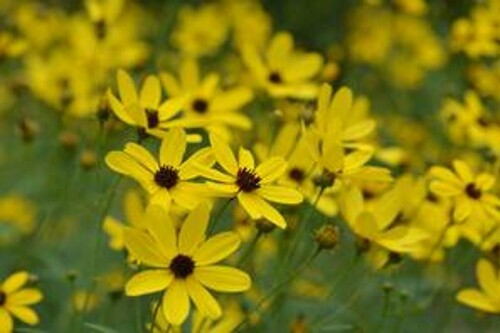 Coreopsis tripteris 'Gold Standard' (tall tickseed)