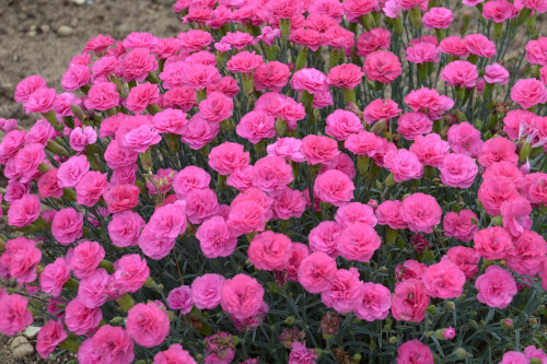 Dianthus Pretty Poppers 'Double Bubble' (pinks)