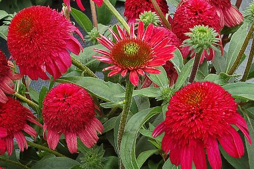 Echinacea 'Cara Mia Rose' (coneflower)