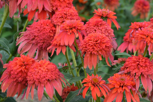 Echinacea DOUBLE SCOOP 'Mandarin' (coneflower)
