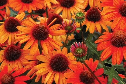 Echinacea Kismet 'Intense Orange' (coneflower)