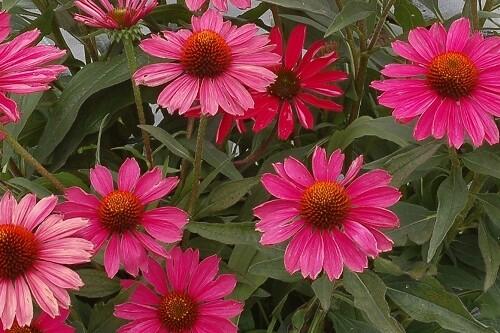 Echinacea KISMET 'Raspberry' coneflower