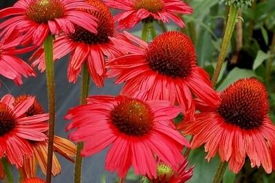 Echinacea KISMET 'Red' (coneflower)