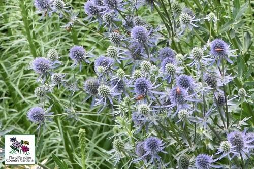 Eryngium planum 'Blue Glitter' (sea holly)