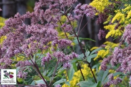 Eupatorium maculatum 'Gateway'(joe-pye weed)