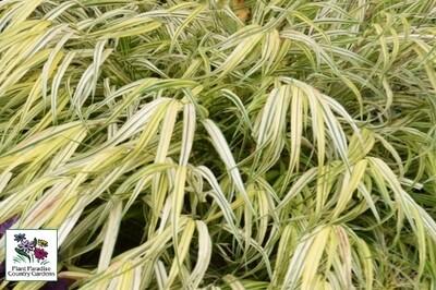 Grass- Hakonechloa macra 'Aureola' (Japanese combed grass)