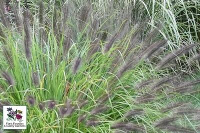 Grass - Pennisetum alopecuroides 'Red Head'