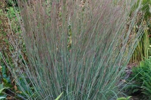 Grass - Schizachyrium scoparium 'Blue Heaven' (Little Bluestem grass)