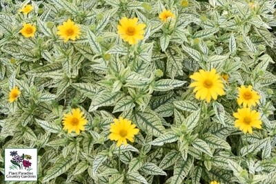 Heliopsis helianthoides 'Sunstruck' (false sunflower)
