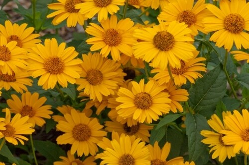 Heliopsis helianthoides 'Tuscan Gold' (false sunflower)