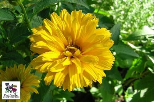 Heliopsis helianthoides 'Summer Sun' (false sunflower)