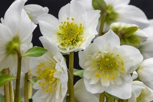 Helleborus niger 'Snowbells (lenten rose)
