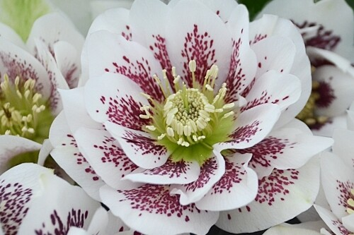 Helleborus WEDDING PARTY 'Confetti Cake'