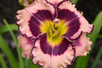 Hemerocallis RAINBOW RHYTHM 'Sound of My Heart' (daylily) (Proven Winners)
