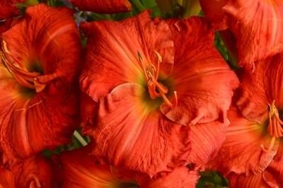 Hemerocallis 'Desert Flame' (daylily)