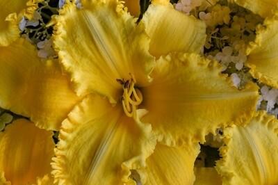 Hemerocallis 'Erin Lea' (daylily)