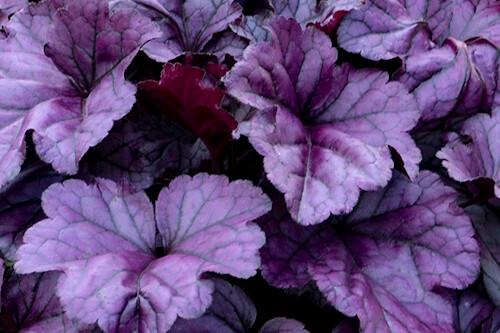 Heuchera 'Wildberry' (coral bells) (Proven Winners)