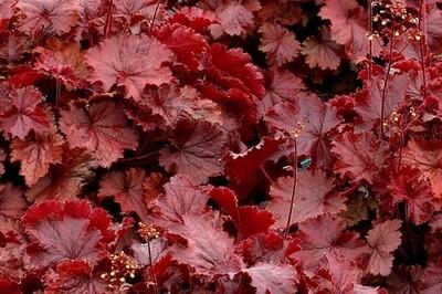 Heuchera Northern Exposure 'Red' (coral bells)