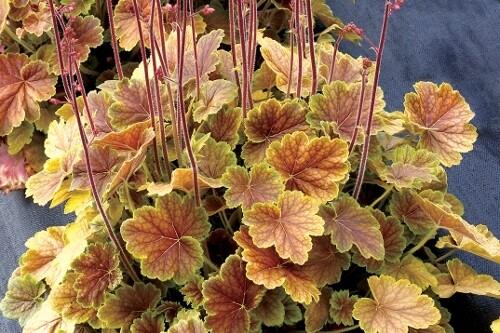 Heuchera Northern Exposure 'Sienna' (coral bells)