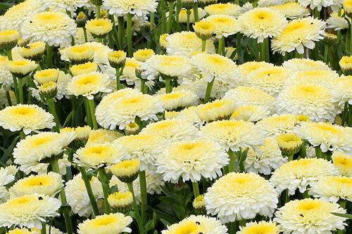 Leucanthemum superbum 'Luna' (shasta daisy)