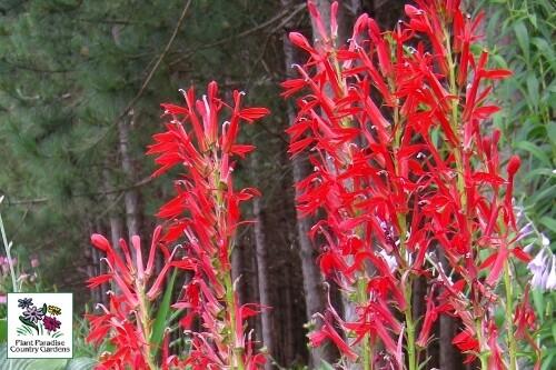Lobelia cardinalis (Cardinal flower)