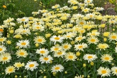 Leucanthemum superbum 'Banana Cream' (shasta daisy)  AMAZING DAISIES