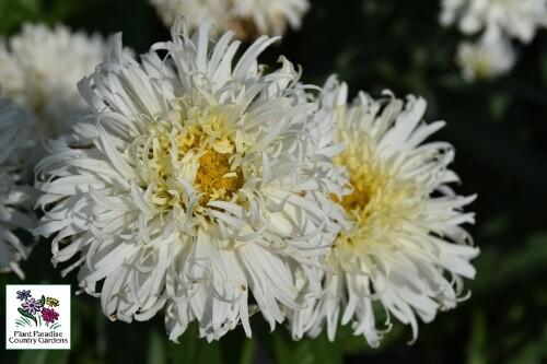 Leucanthemum superbum 'Coconut'(shasta daisy)