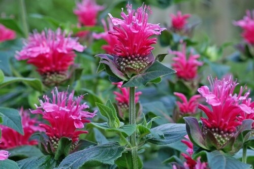 Monarda 'Raspberry Wine' (bee balm)