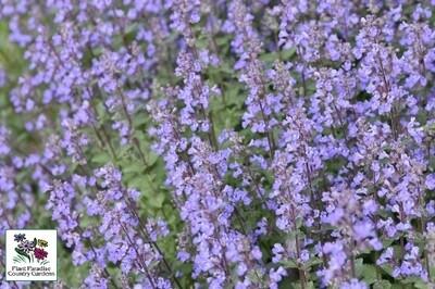 Nepeta faassenii 'Purrsian Blue' (catmint)