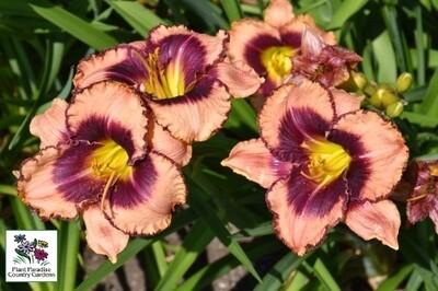 Hemerocallis 'Daring Deception' (daylily)