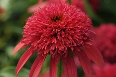 Echinacea DOUBLE SCOOP 'Cranberry' coneflower