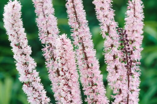 Actaea 'Pink Spike'