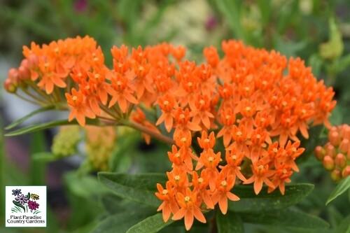 Asclepias tuberosa (butterflyweed)