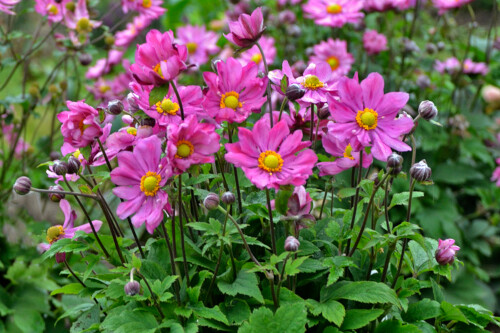 Anemone 'Curtain Call Deep Rose' (Japanese Anemone)