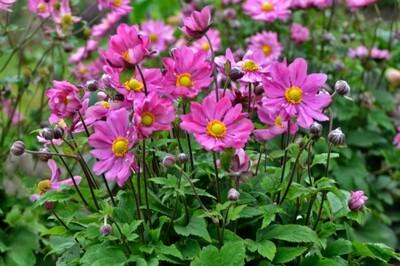 Anemone 'Curtain Call Deep Rose' (Japanese Anemone)