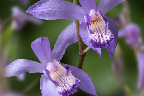 Bletilla striata 'Blue Dragon' (Chinese ground orchid)