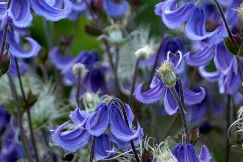 Clematis 'Stand by Me' (Proven Winners) bush clematis