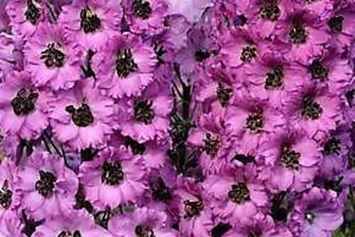 Delphinium 'Pink Punch' New Millennium Delphiniums