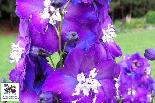 Delphinium 'Purple Passion' New Millennium Delphiniums